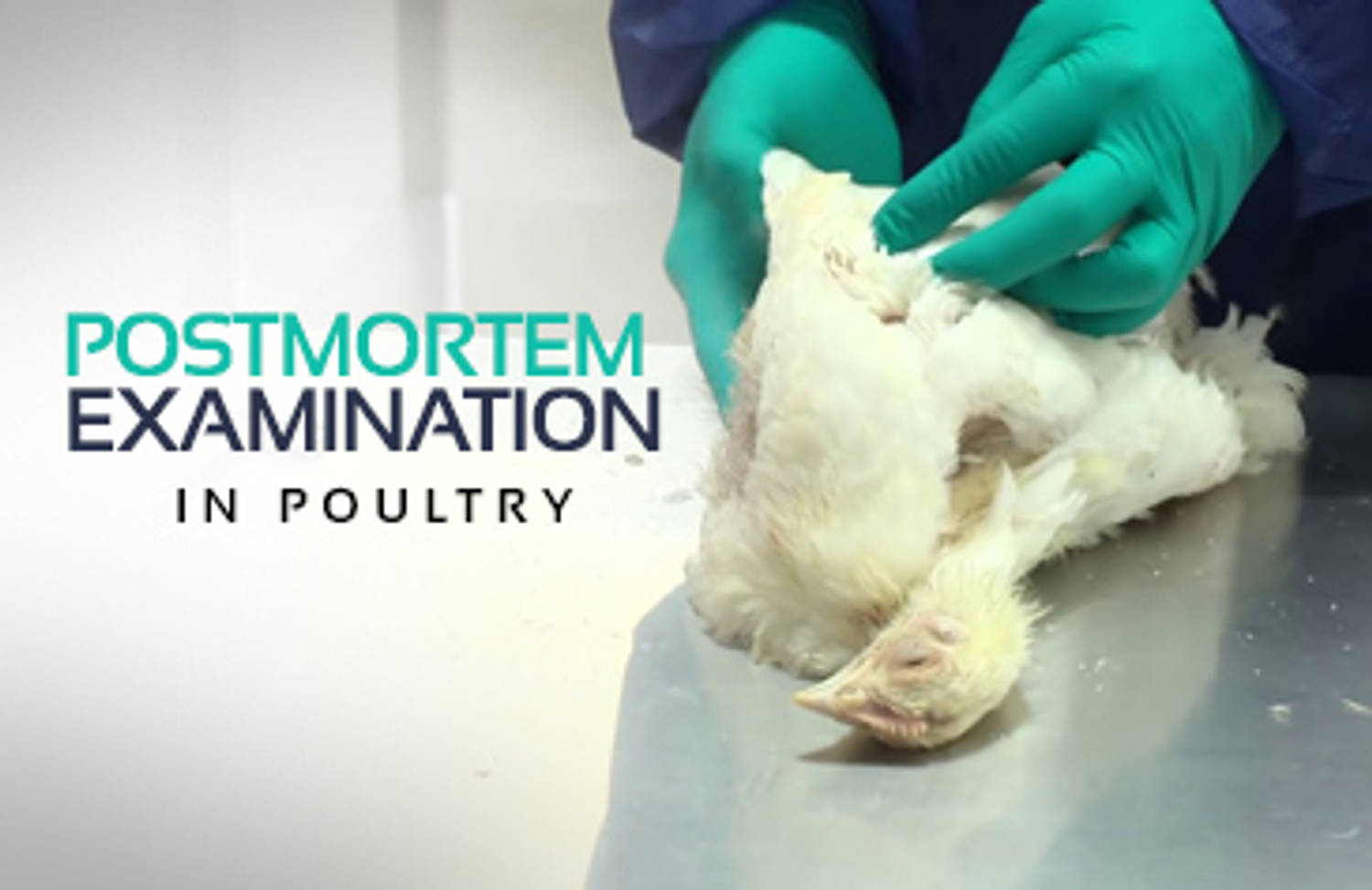 Post-Mortem Examination in Poultry